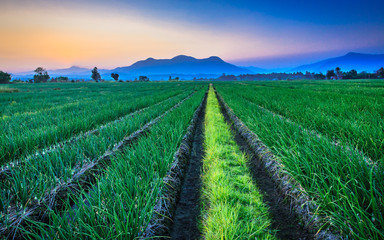 Red onion field with mountain background