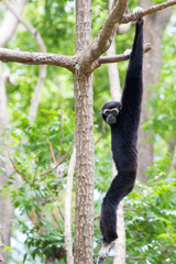 Siamang Gibbon hanging in the tree