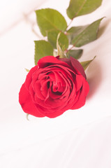 Single red rose on the bed close-up