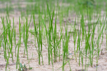 Cogon grass in the wild.
