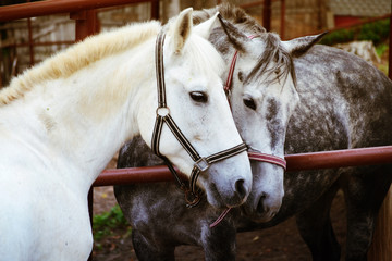 love of two horses