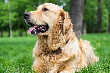 Portrait of beautiful Golden Retriever