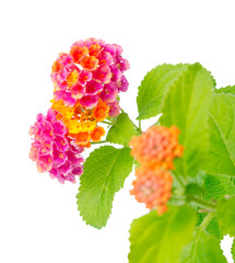 beautiful Lantana camara flower is isolated on white background,