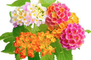 beautiful colorful of Lantana camara flower with drops is isolat