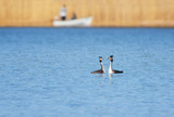 Great Crested Grebe, waterbird in mating season poster