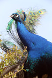 Peafowl Kanvas Tablo