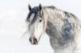 Portrait of grey shire stallion in winter - 64318148