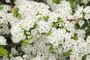 Crataegus monogyna. Flores de Majuelo, Bizcobo.
