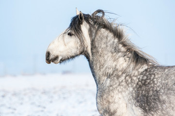 Portrait of running grey shire stallion in winter