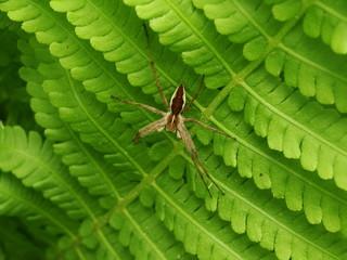Spinne im Farn