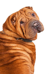 Portrait of sharpei isolated on white background