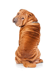 Sharpei looking back isolated on white background