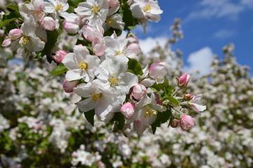 apple blossom in spring, Apfelblüten im Frühling