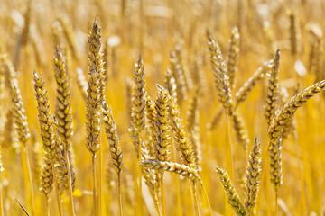 Weizen auf einem Feld
