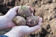 Plants potatoes for new season - 64322509