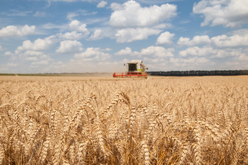 ears of wheat at field and harvesting machine on background