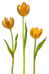 Three tulips isolated on white