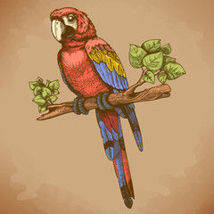 vector engraving big blue parrot on a branch