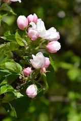 Apple blossoms in spring, Apfelblüten im Frühling