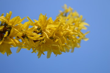 yellow flowers Forsythia, gelbe Blumen Forsythie