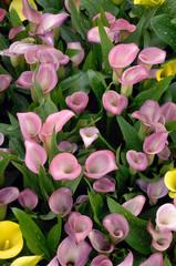 arum rose