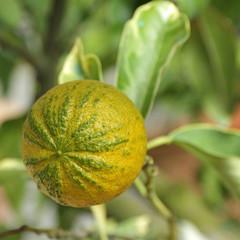 type of  Bitter orange  (Citrus aurantium turcicum salicifolia )