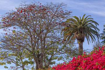 Red Coral Tree Palms Tree Bougainvillea Santa Barbara California