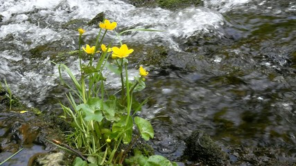 blossoms of gentle marsh marigold with fresh green leaves at cas