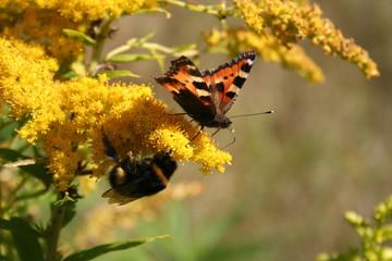 Schmetterling und Hummel auf Blüte