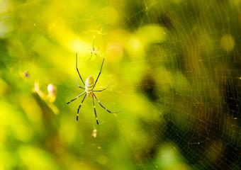 Two spiders on  web (cobweb) closeup