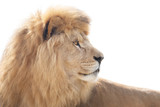 Beautiful and powerful lion wisely looking into distance