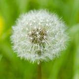 Dreamy dandelion macro - 64334327