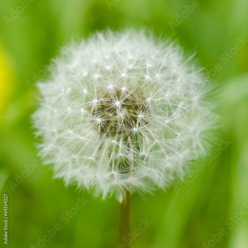 Dreamy dandelion macro © florinoprea