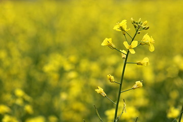 rape oilseed flower