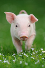 Young pig on a green grass