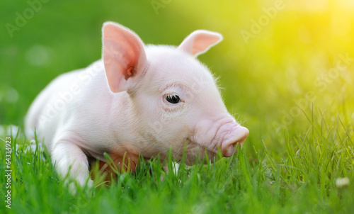 Young pig on a green grass - 64334923