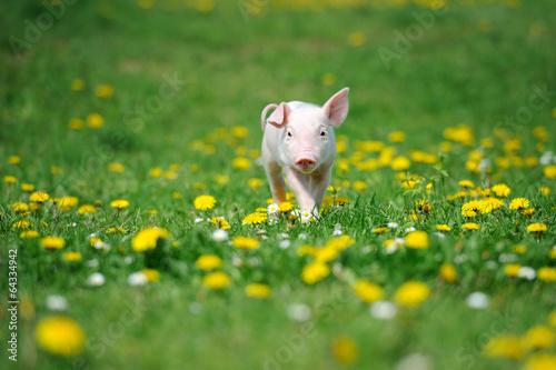 Leinwanddruck Bild Young pig on a green grass