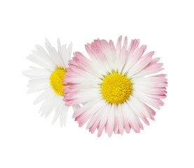 two daisy isolated on white