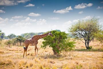 Giraffe in national park in Tanzania.