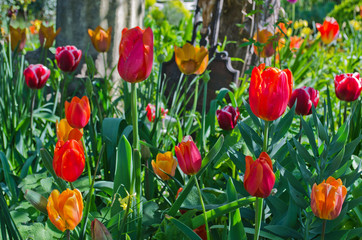 Garden with tulips in many colors
