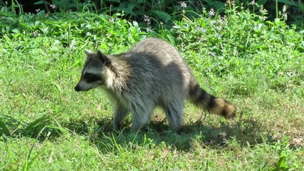 Raccoon digging through grass, gets startled, and runs away