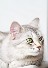 silver cat of siberian breed at three years,female adult