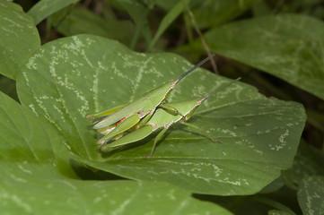 Grasshopper mating on grass leaf