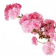 Sakura. Cherry Blossom isolated on white, Beautiful Pink Flowers