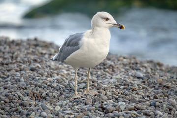 Herring seagull.