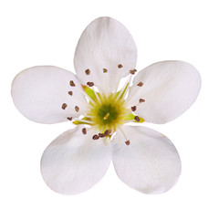 Bird cherry flower isolated on white. Macro