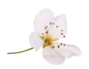 Bird cherry flower isolated on white. Macro