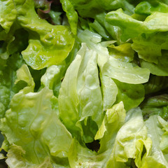 Closeup of fresh lettuce