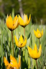 Wild-Tulpe