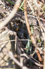 Three grass snakes lie on eachother
